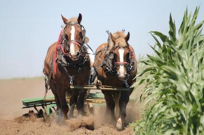 belgian-horses-1214507_1280